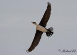 Vitbröstad skarv - White-breasted Cormorant (Phalacrocorax lucidus)