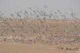 Large Calidris flocks