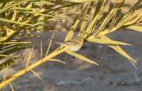 Gransångare - Common Chiffchaff ·(Phylloscopus collybita)