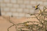 Sudanguldsparv -  Sudan Golden Sparrow (Passer luteus)