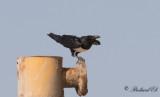 Svartvit kråka - Pied Crow (Corvus albus)