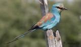 Savannblåkråka - Abyssinian Roller (Coracias abyssinicus)