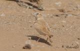 Streckad ökenlärka - African Dunn's Lark (Eremalauda dunni dunni)