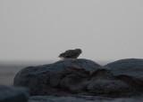 Ökenberguv - Pharao's Eagle Owl (Bubo ascalaphus)