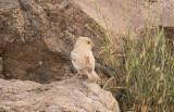 Ökensparv - Desert Sparrow (Passer simplex)