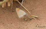 Desert Orange Tip?