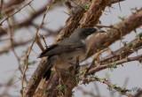 Herdesångare - Western Orphean Warbler (Sylvia hortensis)