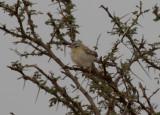 Sahelsångare - Cricket Warbler (Spiloptila clamans)