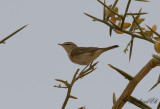 Bergsångare - Western Bonelli's Warbler (Phylloscopus bonelli)