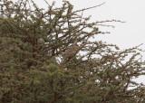 Blånackad musfågel - Blue-naped Mousebird (Urocolius macrourus)