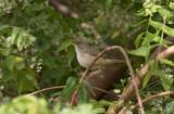 Macciasångare - Western Olivaceous Warbler (Iduna opaca)