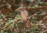 Maghreb Eastern Olivaceous Warbler (Iduna pallida reiseri)