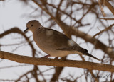 Afrikansk turkduva - Sahel African Collared-Dove (Streptopelia roseogrisea roseogrisea)