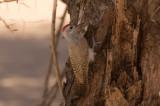 Gulbukig askspett - African Grey Woodpecker (Dendropicos goertae)