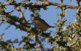 Rostsångare - Western Subalpine Warbler (Sylvia inornata inornata)