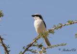 Ökenvarfågel - Southern Grey Shrike (Lanius meridionalis elegans)