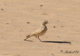 Sandökenlärka - Bar-tailed Desert Lark (Ammomanes cinctura arenicolor)