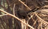 Svart trädnäktergal - Black Scrub Robin (Cercotrichas podobe)