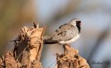 Långstjärtad duva - Namaqua Dove (Oena capensis)