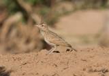 Tofslärka - Crested Lark (Galerida cristata)