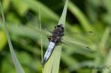 Spetsfläckad trollslända - Scarce Chaser (Libellula fulva)