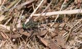 Stenflodtrollslända - Small Pincertail (Onychogomphus forcipatus)