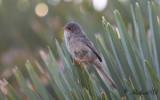 5.Cetti Warbler - Madeira Firecrest