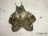 Ekorrspinnare - Lobster moth (Stauropus fagi)