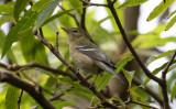 Birds in Azores - passerines