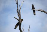 Yellow - Tailed Black Cockatoos