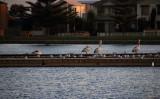 Pelicans at Twilight