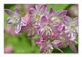 Deutzia purpurea Kalmiiflora (Bruidsbloem)