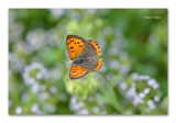 kleine vuurvlinder - lycaena phlaeas - small copper