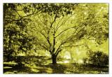 The Golden Elm