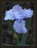 Int. bearded iris