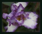 Bearded Iris, Needlepoint
