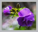 Australian native plants we grow in our garden