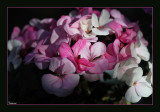 Pelargoniums & Geraniums