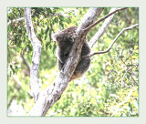 Mostly Koalas with my new lens