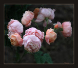 Roses in Spring and Summer 2018