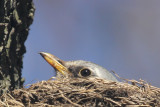 Fieldfare on nest