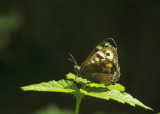 119:365Speckled Wood butterfly
