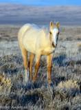 Wild Mustangs - Southwest Wyoming
