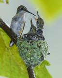 RUBY-THROATED HUMMMINGBIRD