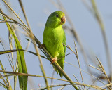 GREEN-RUMPED PARROLET