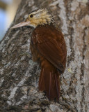 OVENBIRDS AND WOODCREEPERS