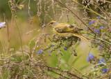 Cape canary (Serinus canicollis)