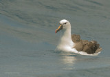 Indian Yellow-nosed Albatross (Thalassarche carteri)