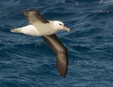 Black-browed Albatross (Thalassarche melanophrys)