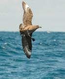 Brown or Southern Skua (Stercorarius antarcticus)